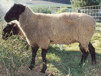 Heather's Year 2001 Breeding ram Lancelot