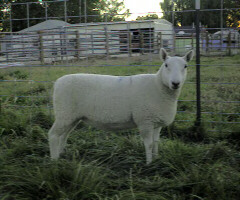 Jackie's Year 2001 Breeding ewe Star
